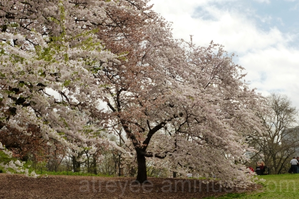 Cherry Blossoms (3)