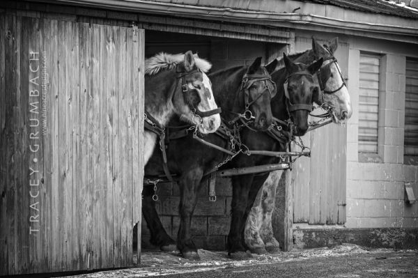 a team of amish work horses