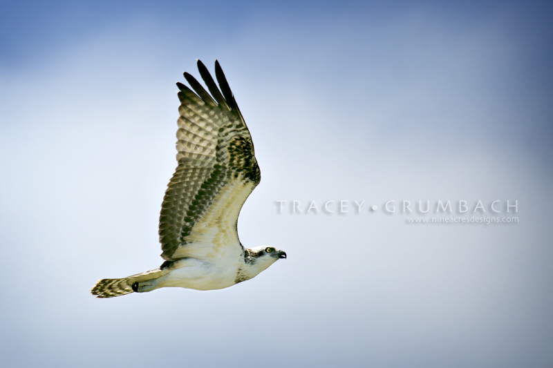 osprey flying in the Florida sky