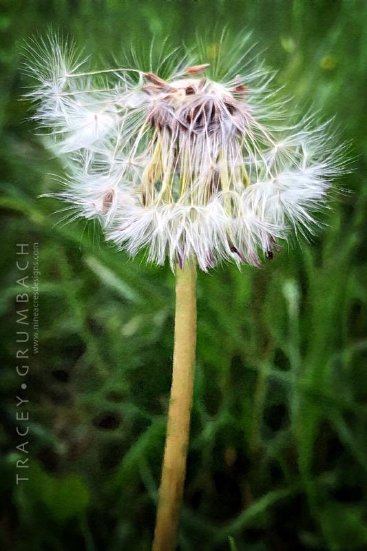 dandelion wish in a field of grass