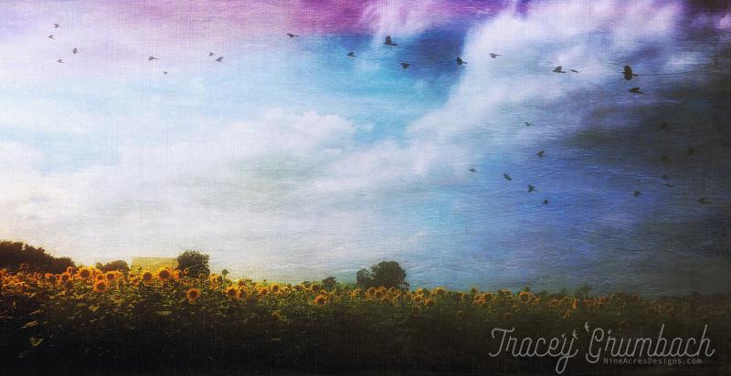 sunflower field in front of barn