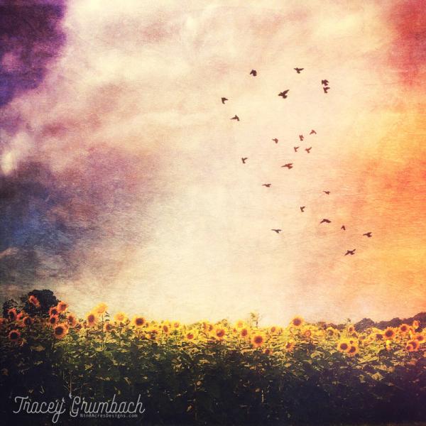 sunflower field with birds