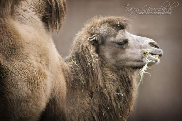 camel at St. Louis Zoo