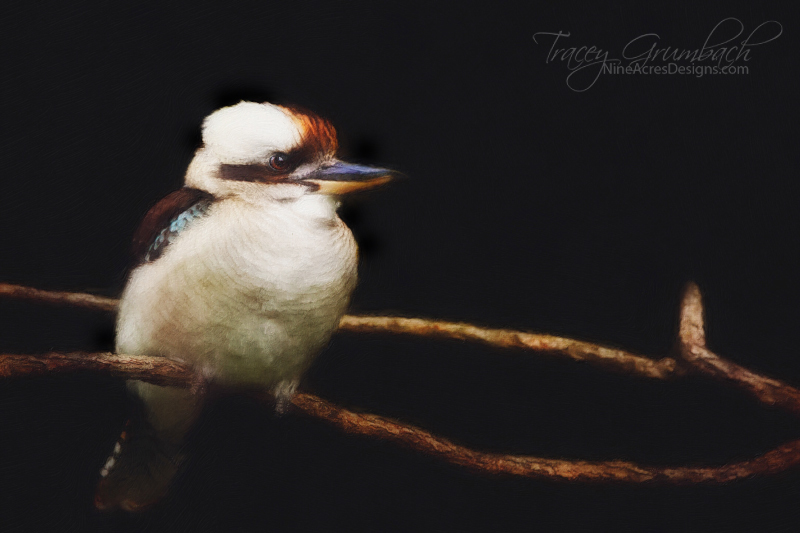 kookaburra bird sitting on branch