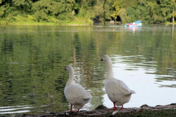 The Lover Ducks