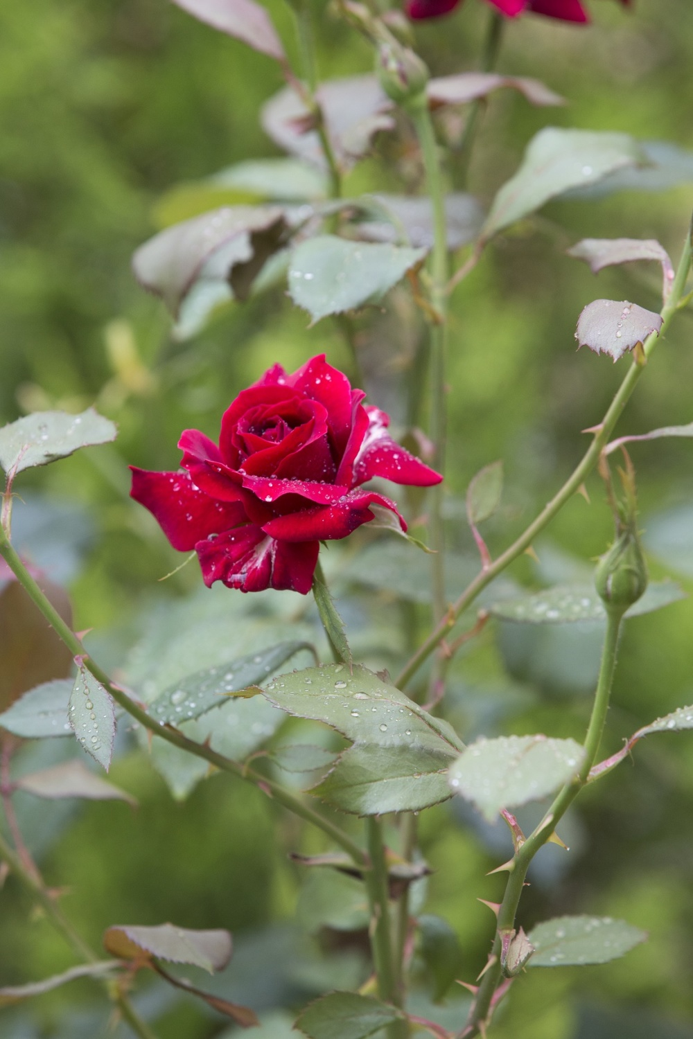 The Red Flower Story