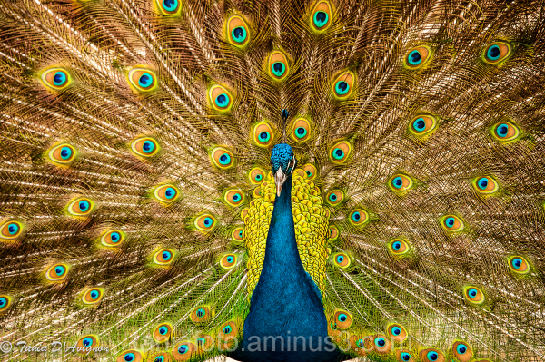 Peacock in Punta Cana