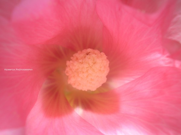 Rose Papale