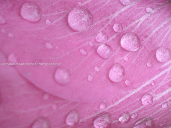 The Drops of Rose Water