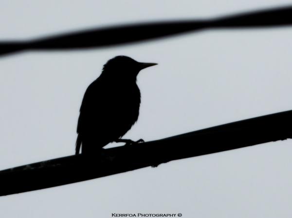 Silhouette oiseau