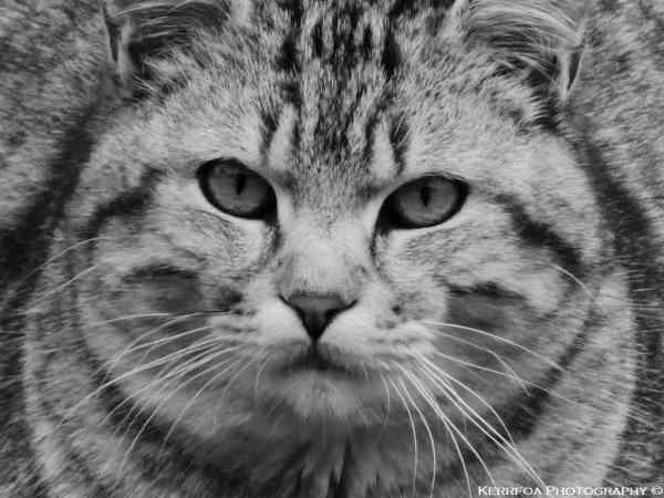 Tête de Chat