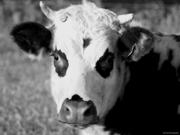Oh! La Vache !!!