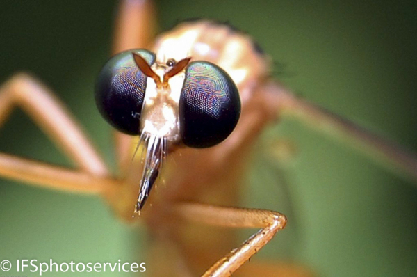 a macro image of a mosquito