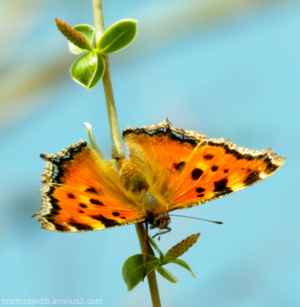 Butterfly in Tiger custume