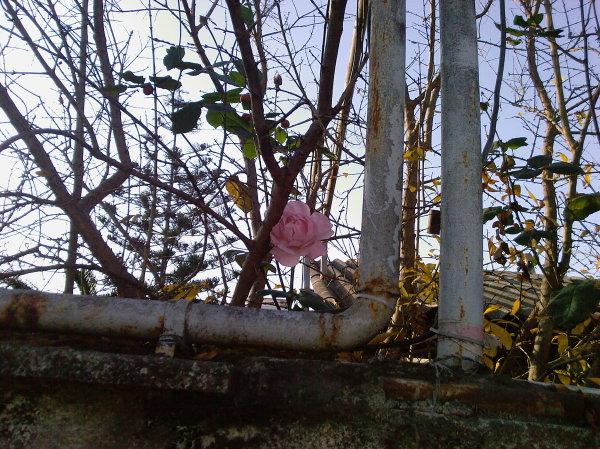 !با یک گل هم بهار میشود حتی بهمن ماه