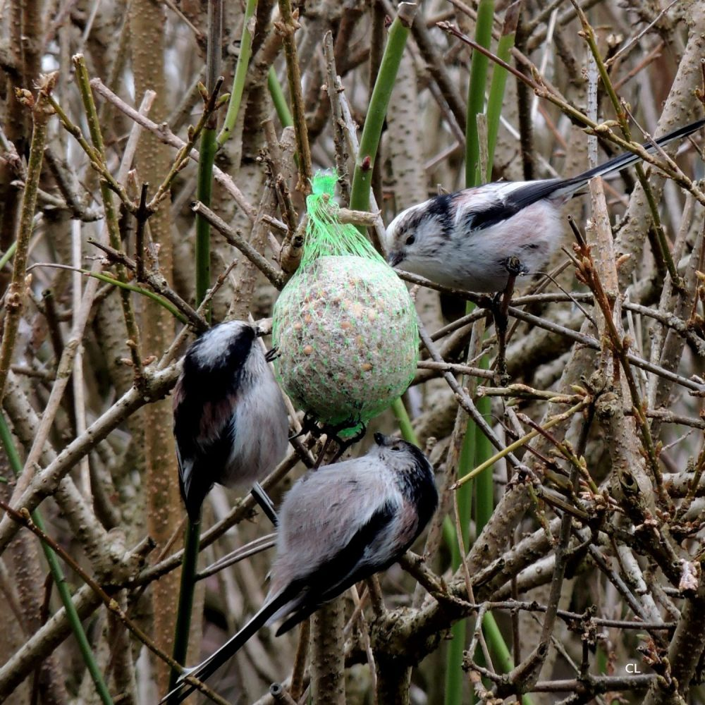 mésange à longue queue
