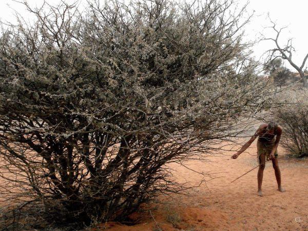 le bushman
