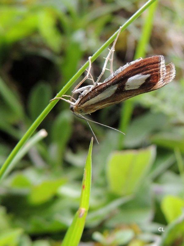 catoptria conchella