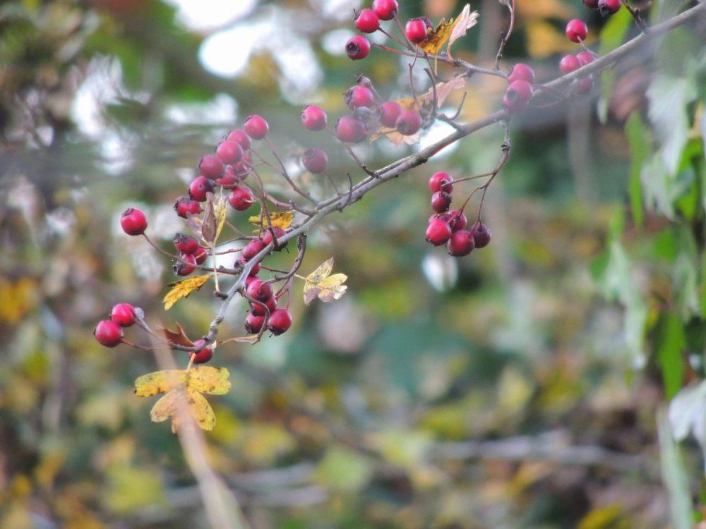 Eglantier en fruits