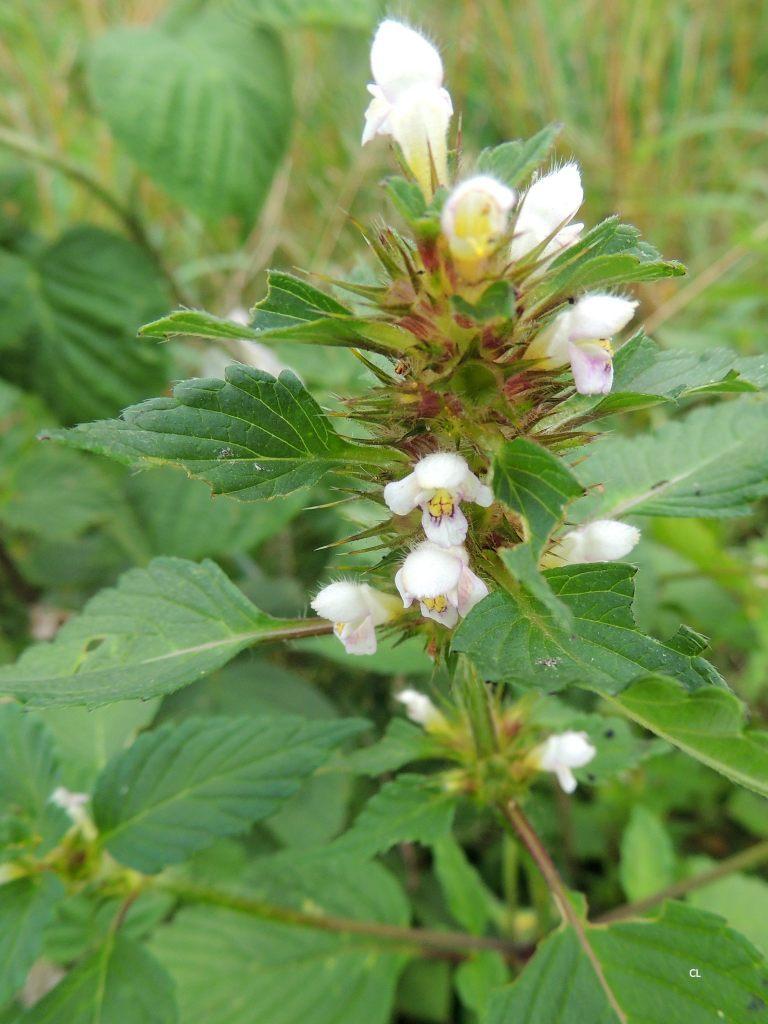 galeopsis tetrahit