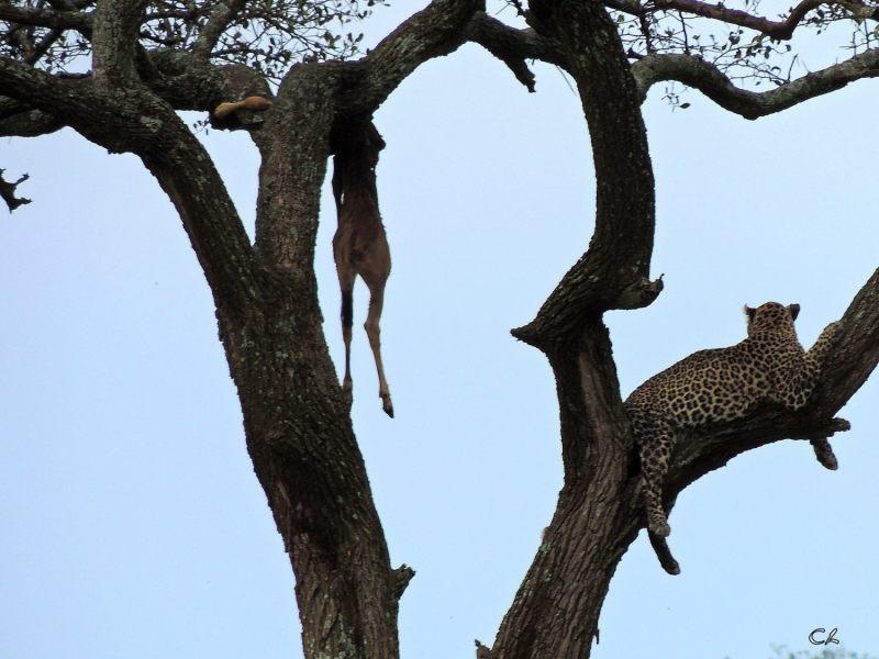 Le garde manger du léopard