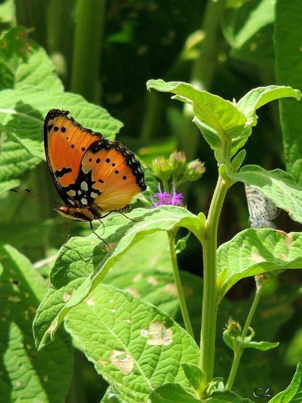 Papillon gracieux