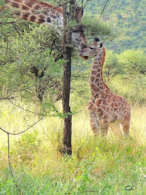 Maman et bébé...girafe