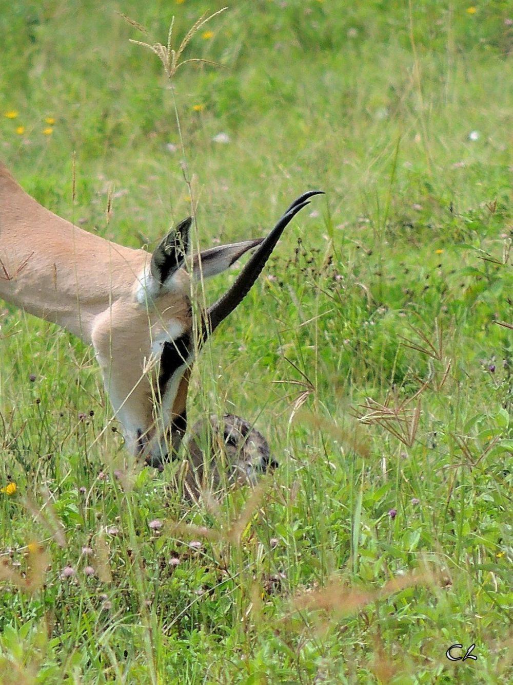 gazelle de Grant