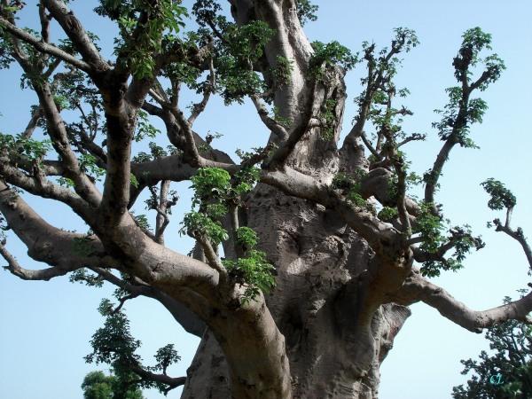 Baobab?
