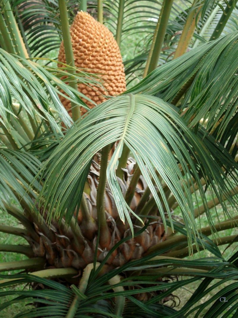 cycas du Japon fruit
