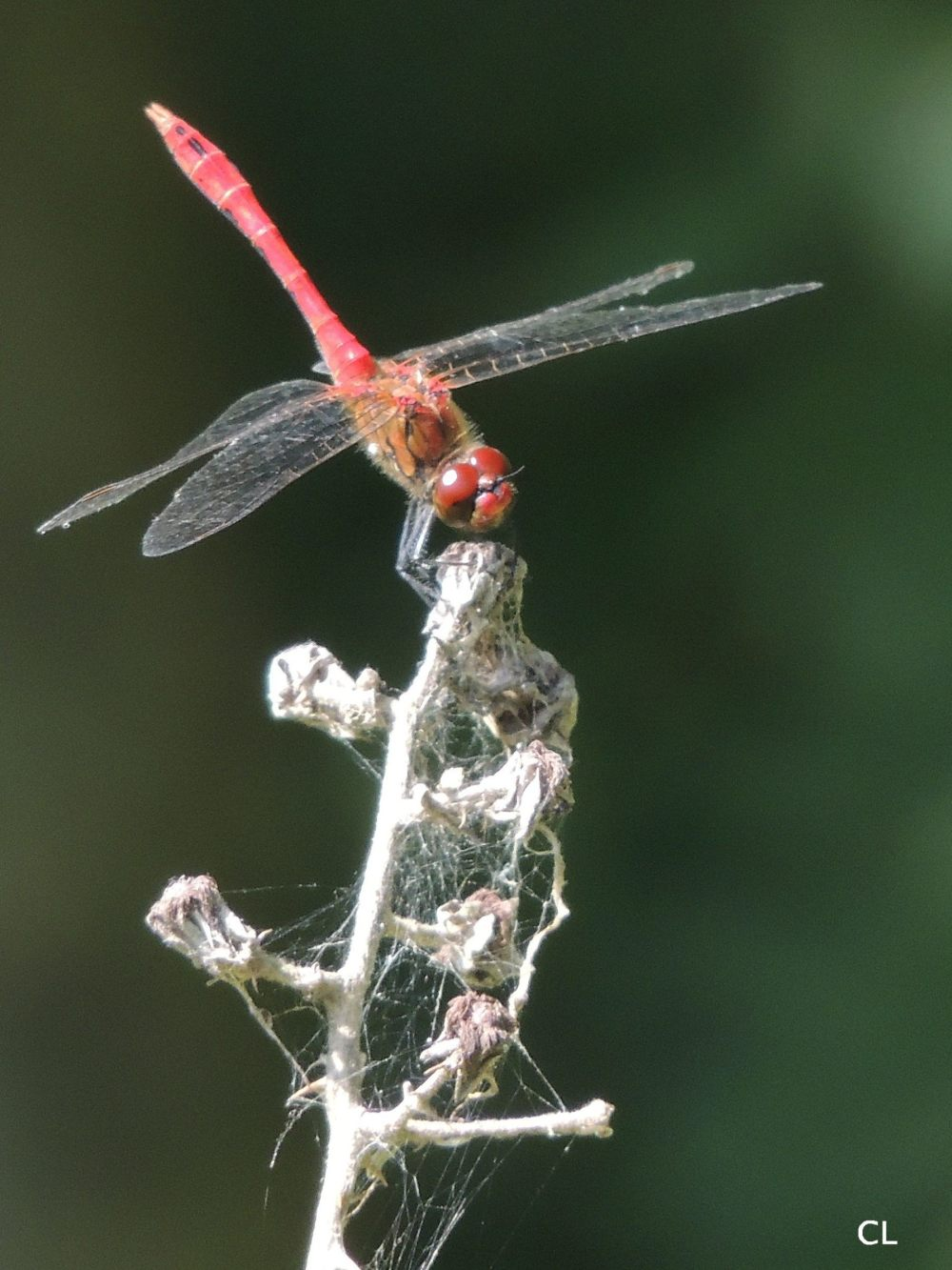 Sympetrum rouge sang