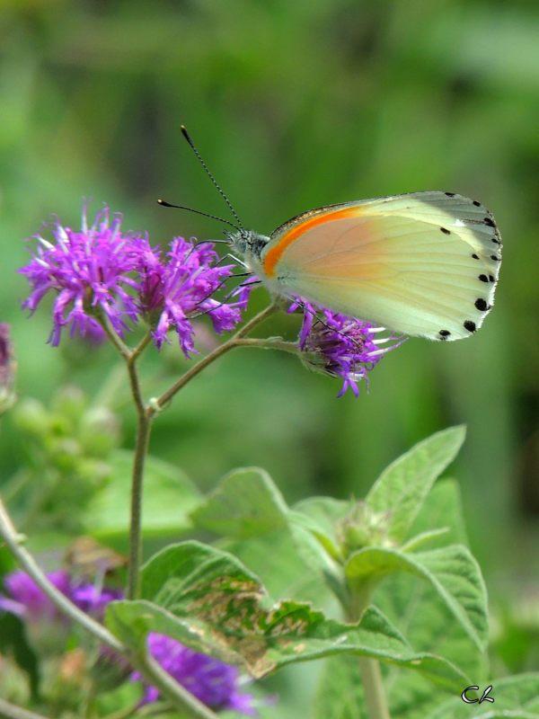 Papillon de Tanzanie