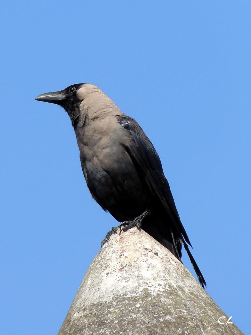 corbeau familier