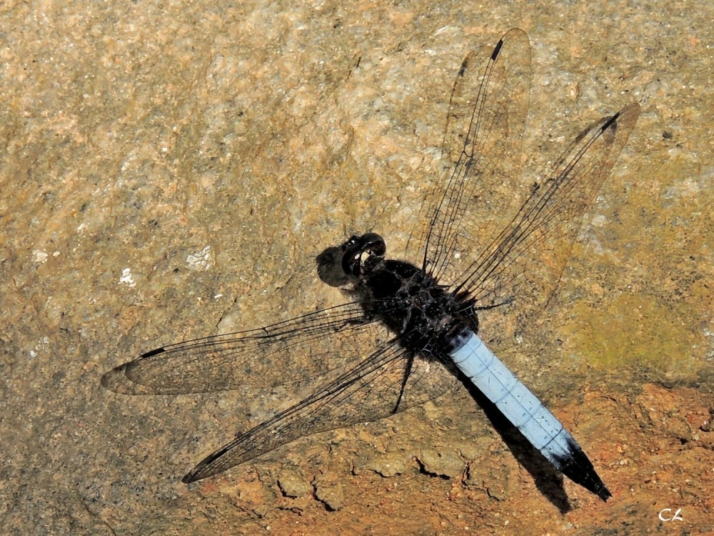 orthetrum triangulare