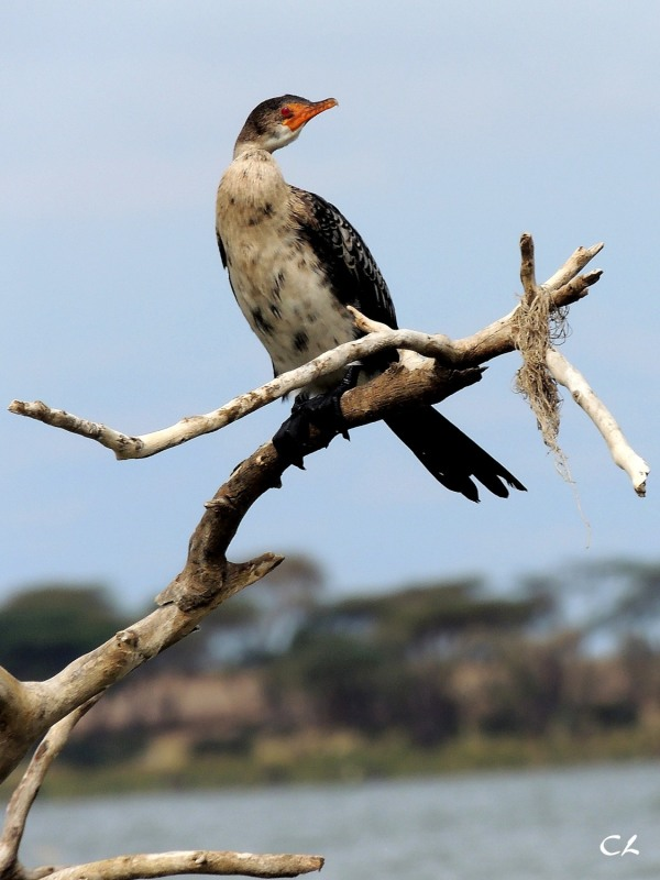 cormoran africain