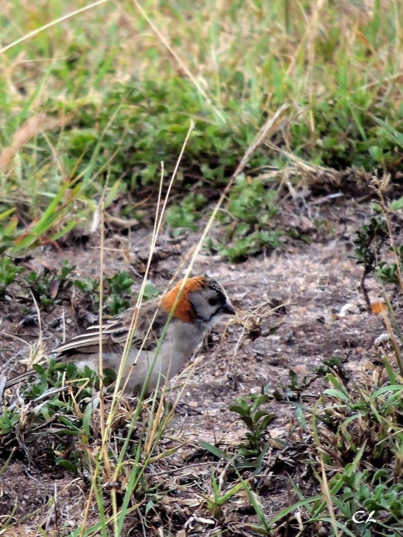sporopipe quadrillé