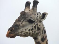 girafe masai