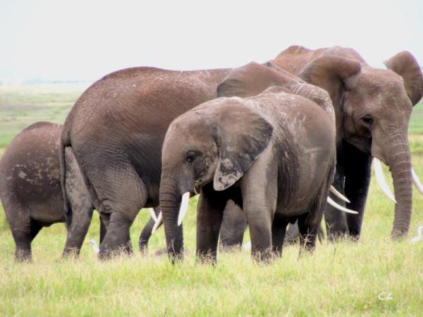 Famille éléphant