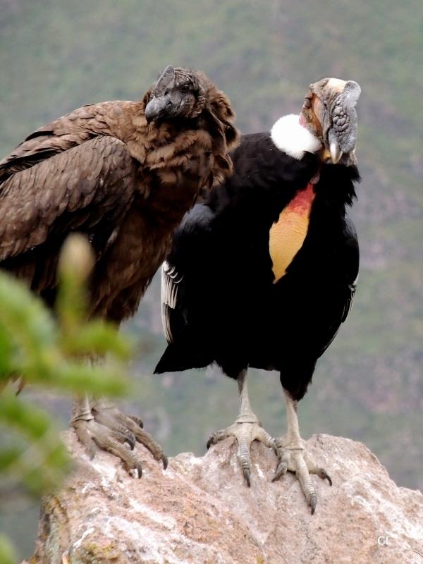 Condor des andes, le père et son jeune