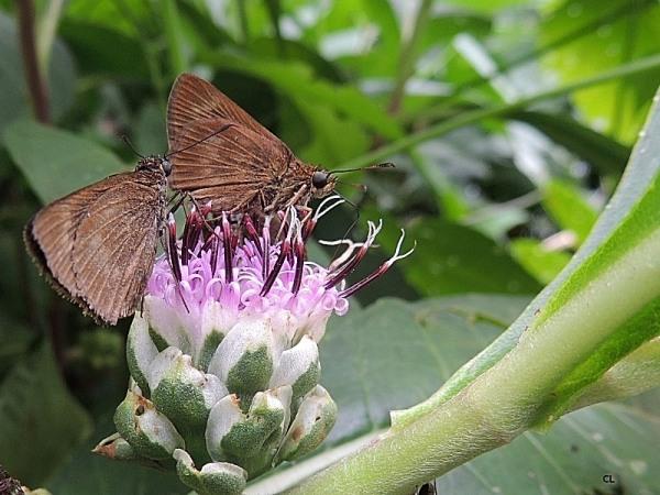 cobalopsis sp