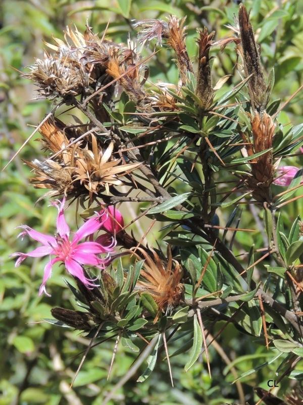 Fleur du Pérou