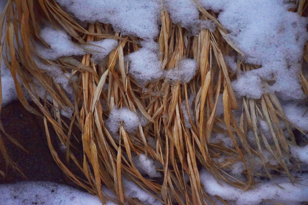 dried blades of grass covered with snow