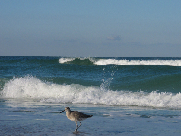 lone sandpiper watches waves
