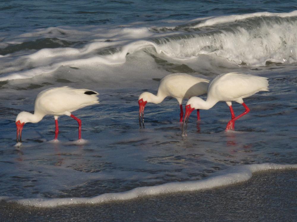3 ibis in ocean edge of Florida