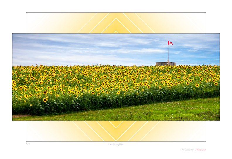 Canadian Sunflowers