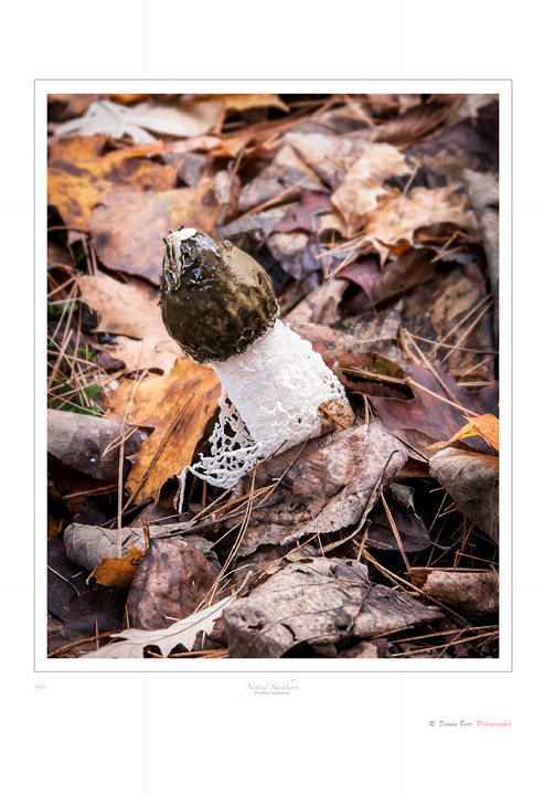 Netted Stinkhorn [Phallus duplicatus]