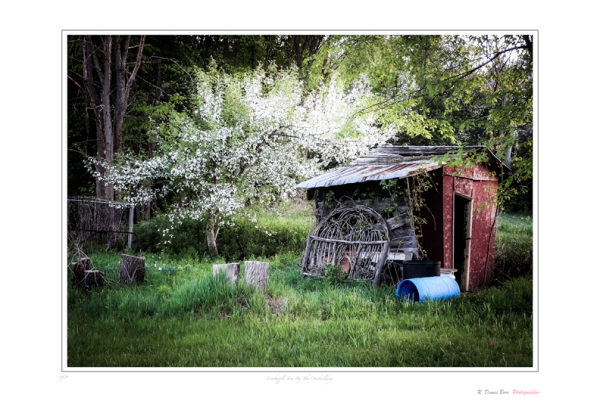 Crabapple By The Outbuilding