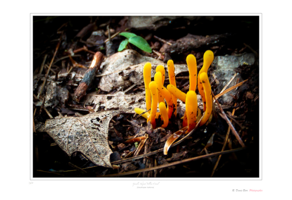 Spindle-Shaped Yellow Coral Mushroom