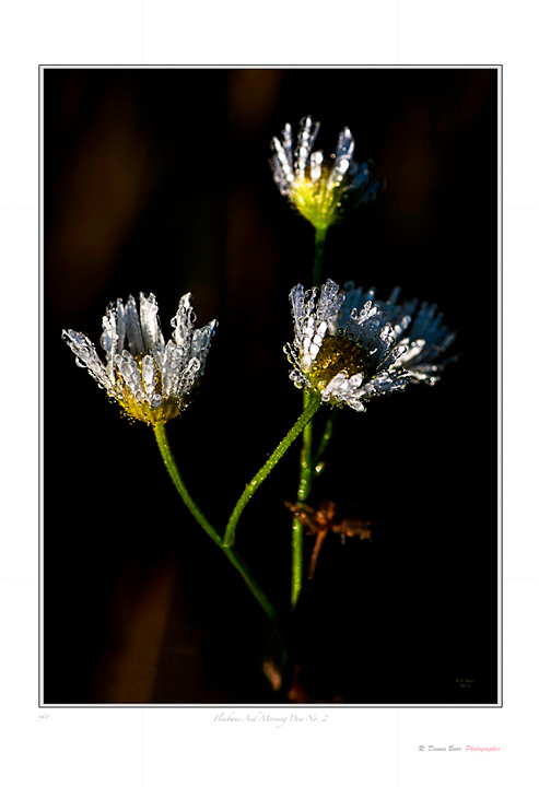Fleabane And Morning Dew No 2