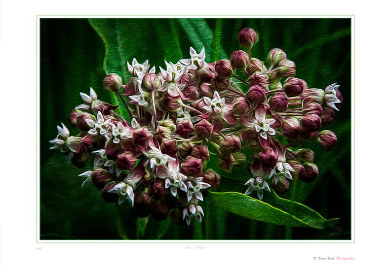 Classic Milkweed